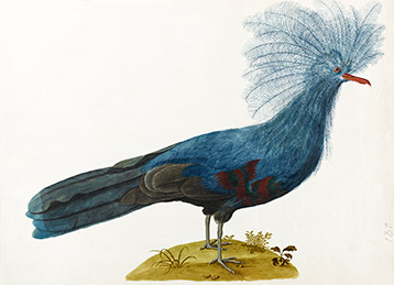 crowned pigeon depicted